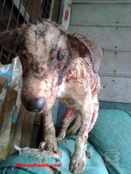 Pacman, dog with wounds all over its body. Dog Rescue Story in the Philippines
