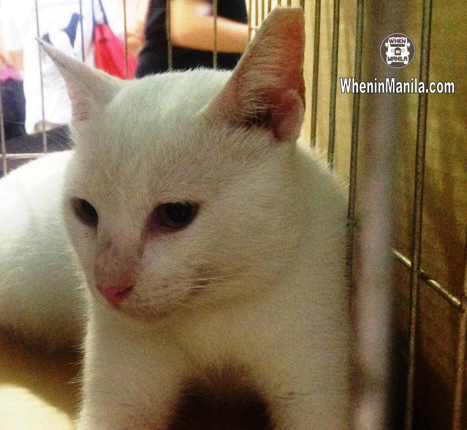 Animal Rescue and Welfare in the Philippines - Akihiro - Rescued Cat for Adoption