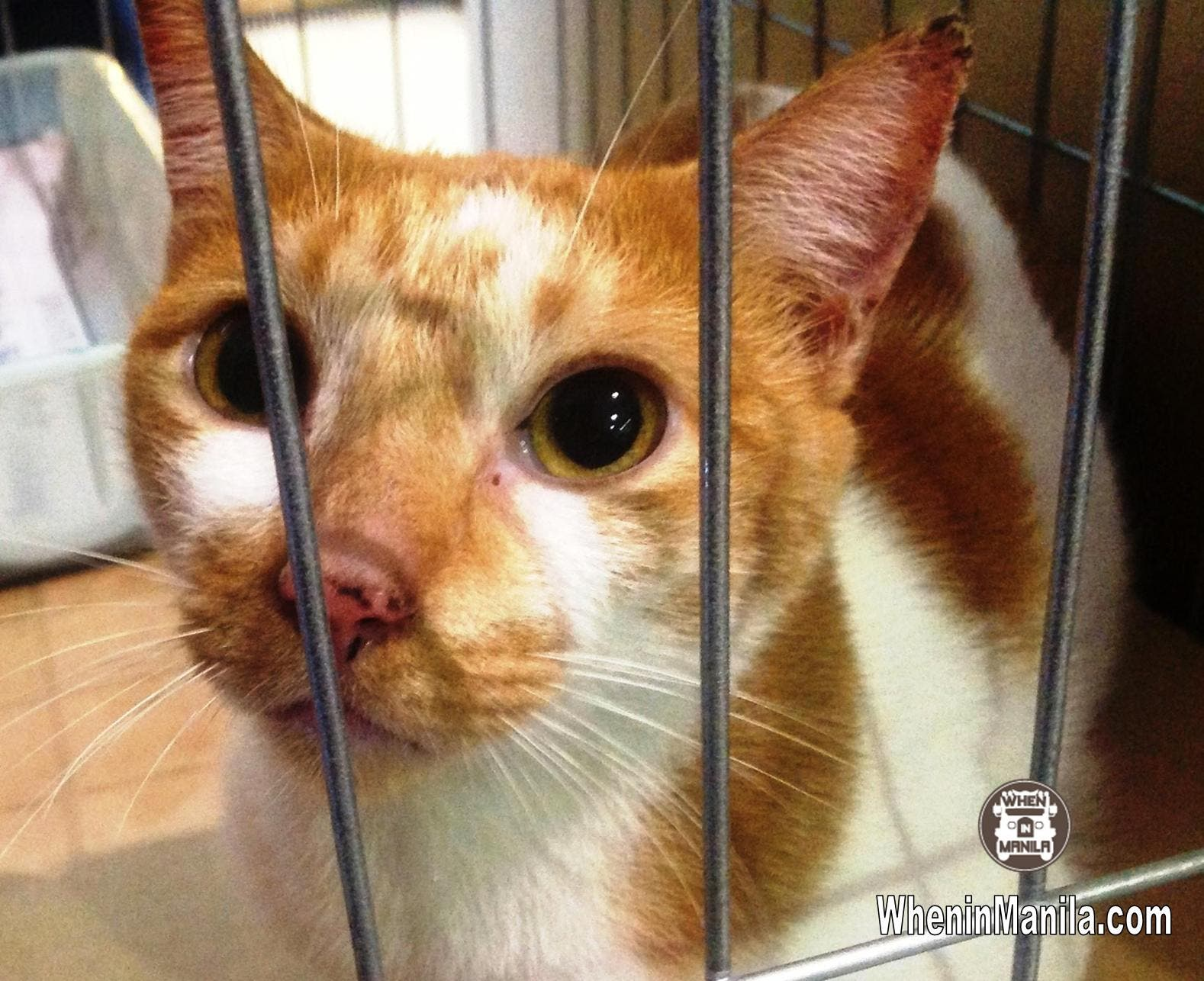 Animal Rescue and Welfare in the Philippines - Basu - Rescued Cat for Adoption