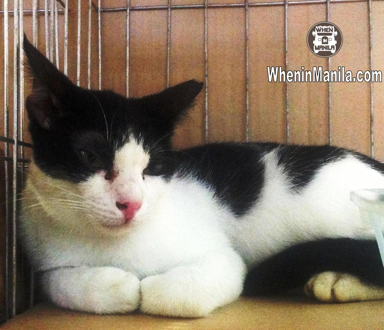 Animal Rescue and Welfare in the Philippines - Bleaky - Rescued Cat for Adoption