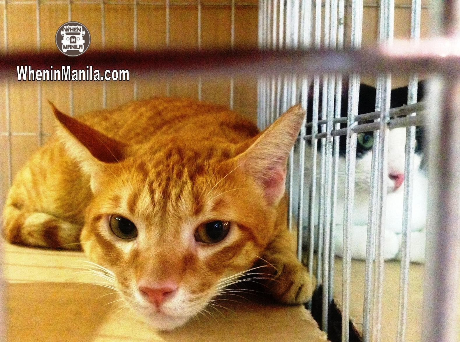 Animal Rescue and Welfare in the Philippines - Charlie - Rescued Cat for Adoption