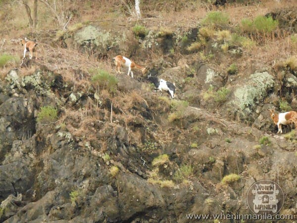 The brave goats we saw