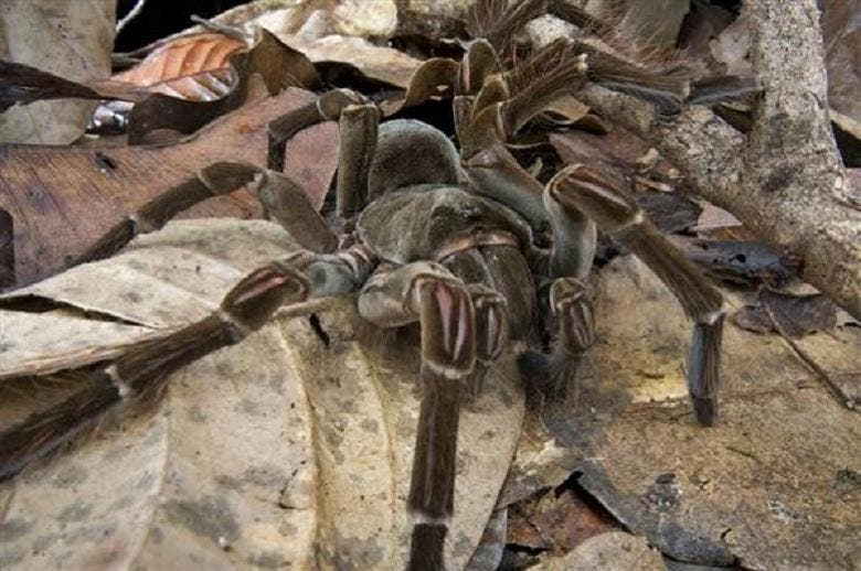 Stuff of Nightmares Scientist Finds Spider the Size of a Puppy 2