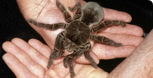 Stuff of Nightmares Scientist Finds Spider the Size of a Puppy 3