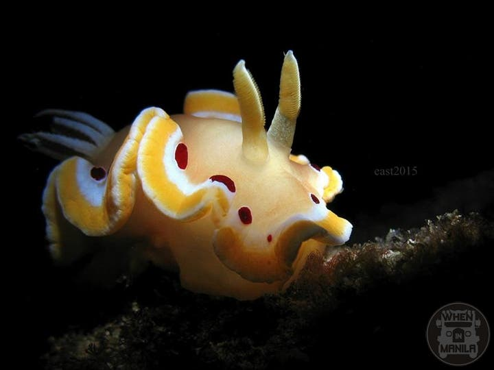 Blood-stained Nudibranch