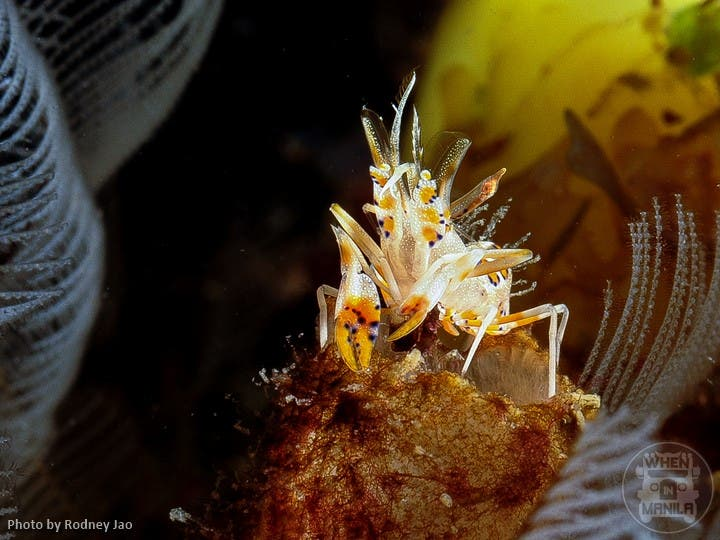 Spiny Tiger Shrimp