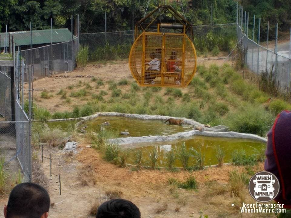 Zoobic safari introduces kamikazoo, a zipline ride with tigers