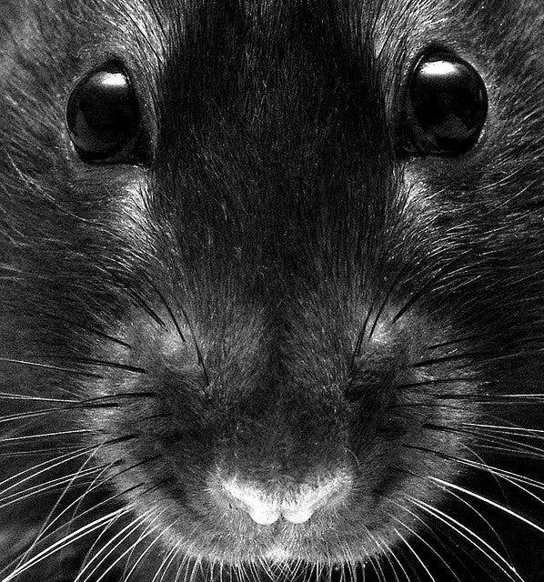 10 Surprising Reasons Why You Should Own a Pet Rat