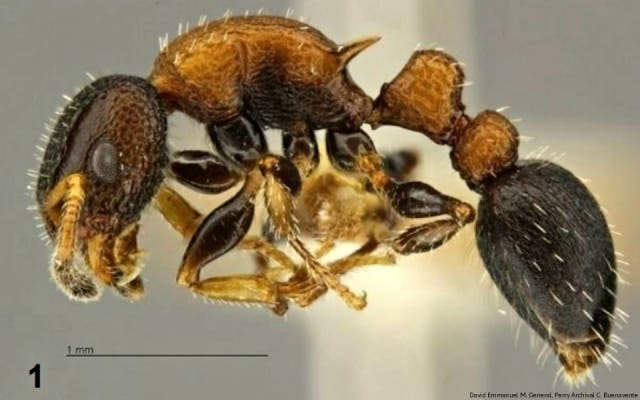 Ant species Cory Aquino