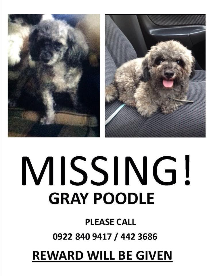 Missing-Gray-Poodle