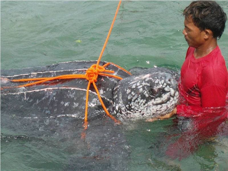 Gigantic Turtle Gets Trapped on Fisherman's Net