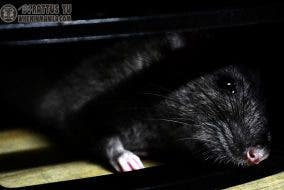 ratzilla video - milan the wild rat grooming herself