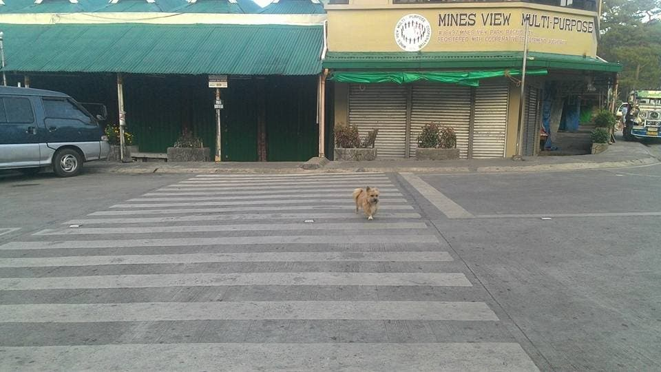 LOOK Dog Uses Pedestrian Lane to Cross the Road 2
