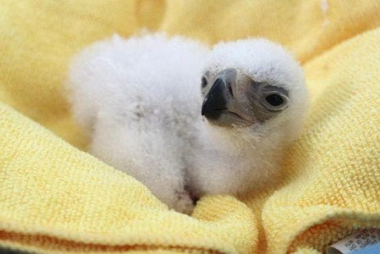 Rare Philippine Eagle Chick Hatched in Davao