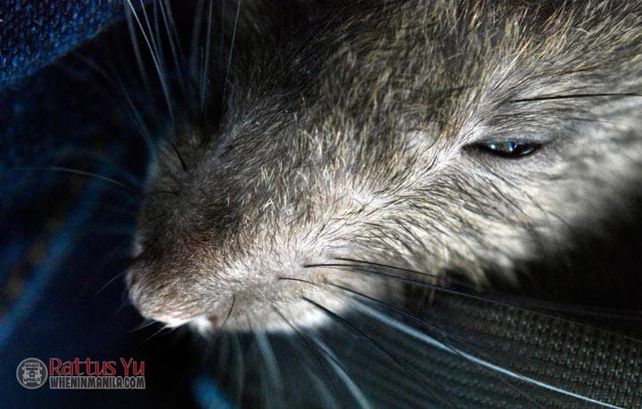 Thoriel rat macro and portrait photography (November 25, 2015) (2)