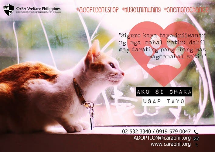 Hugot ni Chaka - CARA Welfare Philippines - animal welfare - how to a cat