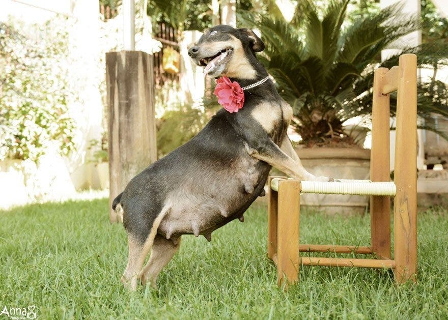 Pregnant Dogs Looks So Happy in Her Maternity Photo Shoots