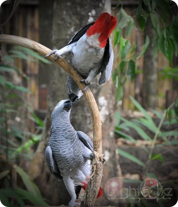 Lovebirds Zoobic