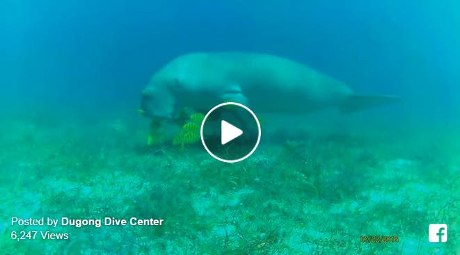 Dugong Dive Center Dugong Sighting Will Make You Feel Amazed of the Ocean Even More