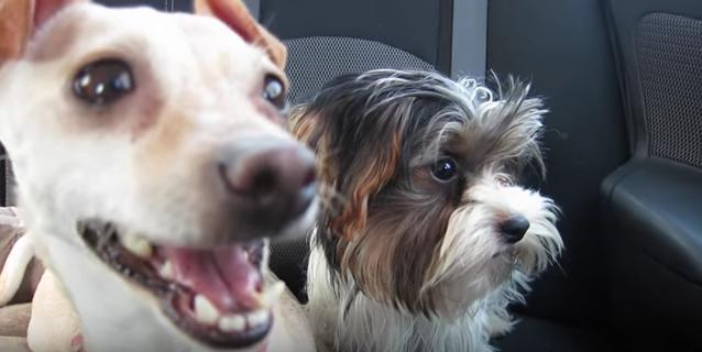 uber-driver-surprises-passengers-with-puppies