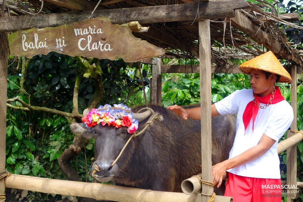 when-in-manila_hoppiepolla_nurture-farmacy_36_Guests are welcomed by Maria Clara, the farm's carabao.