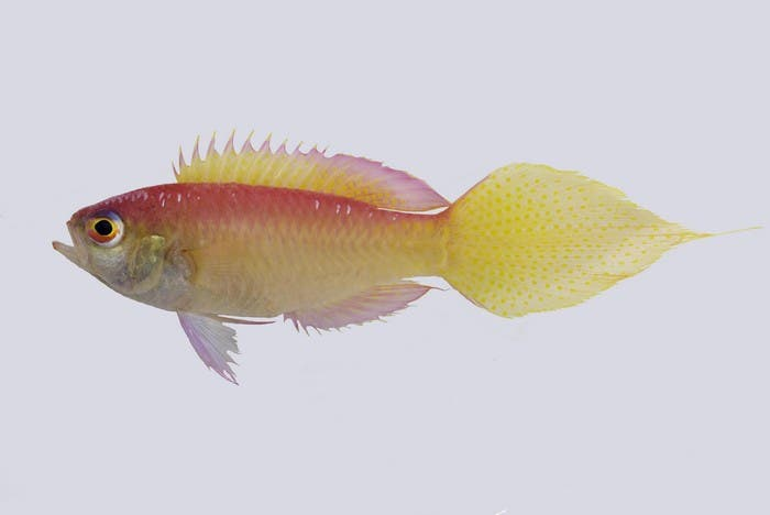 A New Fish Species Discovered Off the Coast of Batangas