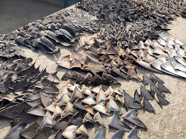 This photo released by Ecuador's Attorney General, shows hundreds of shark fins seized by the police in Manta, Ecuador, Wednesday, May 27, 2015. According to the Interior Minister of Ecuador, the police siezed about 200 thousand shark fins that where about to be exported illegaly to Asia. (Fiscalia General del Ecuador via AP)