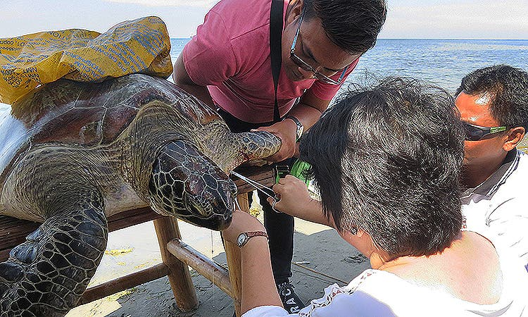 "SEA TURTLE RESCUED – Environmentalist from the DENR, CENRO, tagging the 100-kilos endangered ""green sea turtle"" that was caught by seaborne patrollers of Lingsat Marine Protected Area (LMPA) along the Linsat shore in San Fernando City, La Union Monday (Jan. 9, 2017). (Photo by: ERWIN BELEO)"
