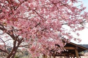 Sakura Cherry Blossoms Japan
