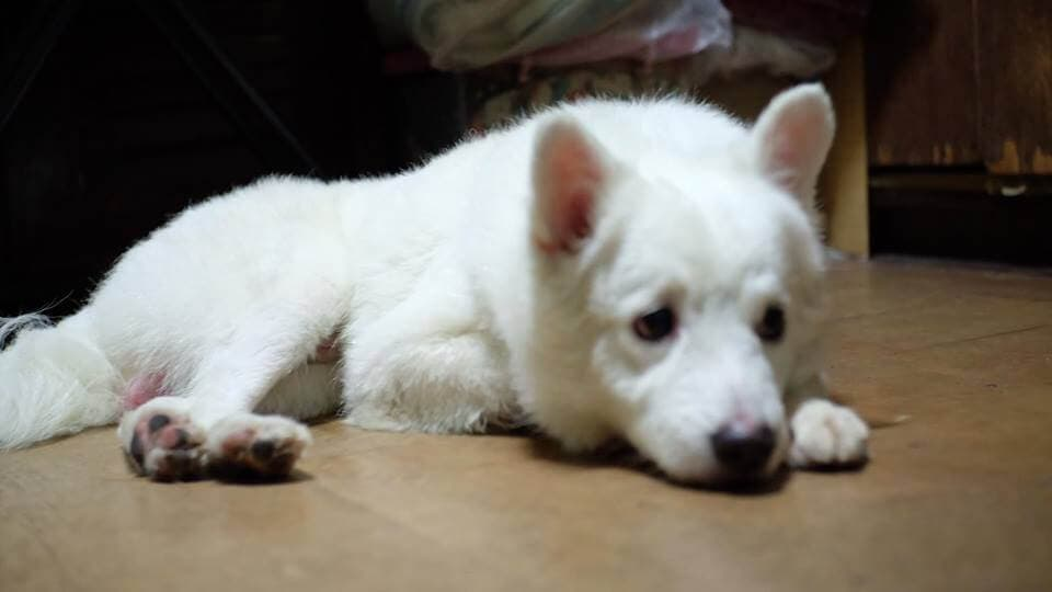 rescued white lost dog