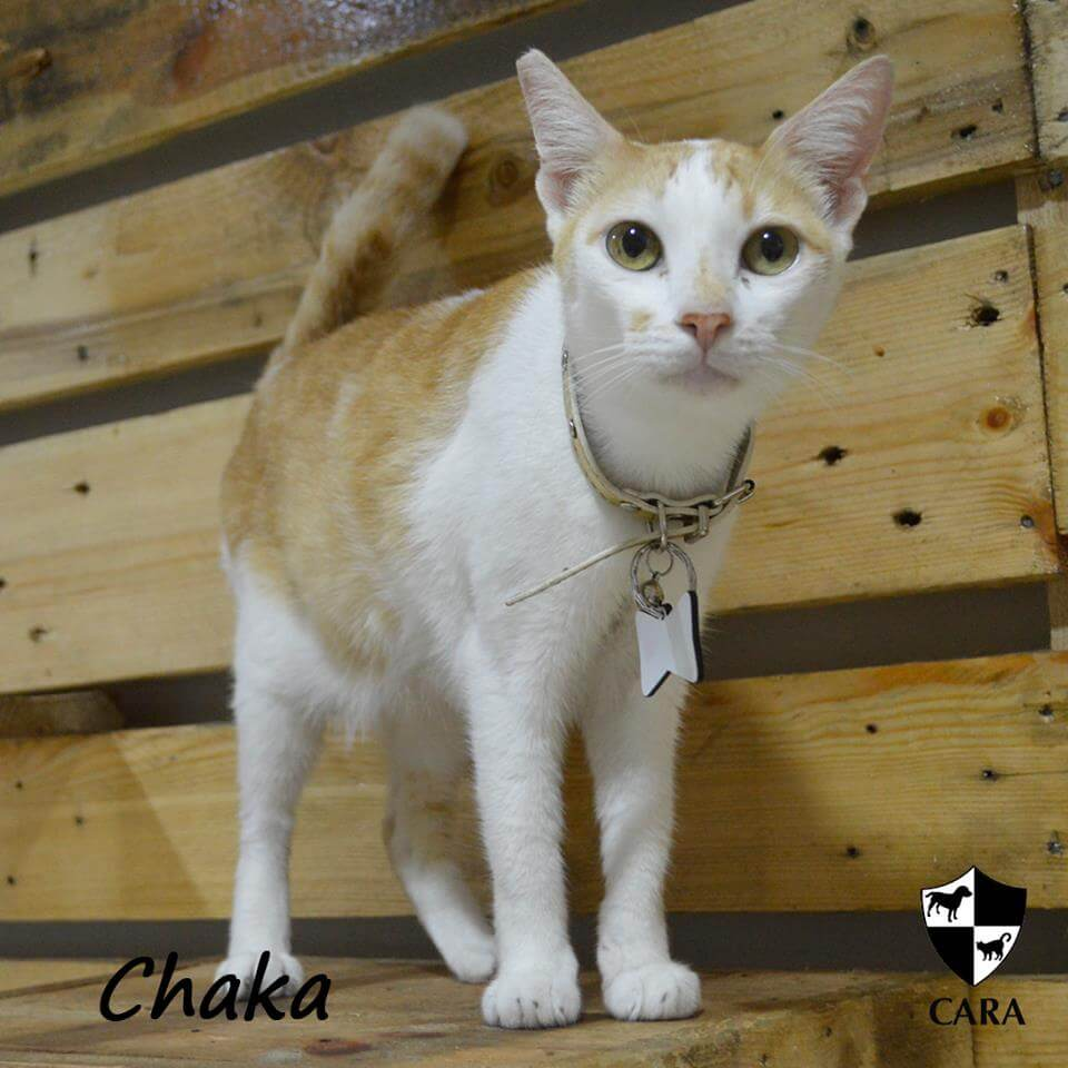 CARA cat for adoption - Chaka