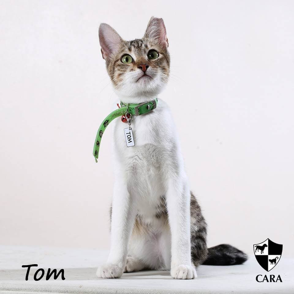 CARA cat for adoption - Tom