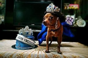 beauty Queen Ayen adopted chihuahua dog