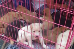 Puppies-being-sold-illegally-in-Binondo - puppy mills