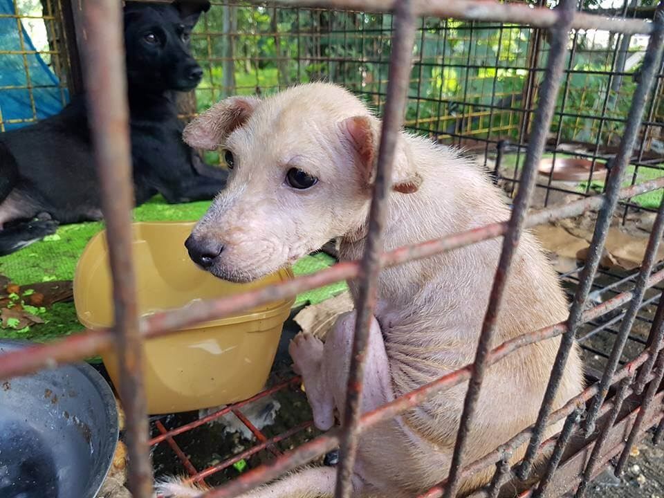 Filinvest-puppies-and-dogs rescued from dog pound