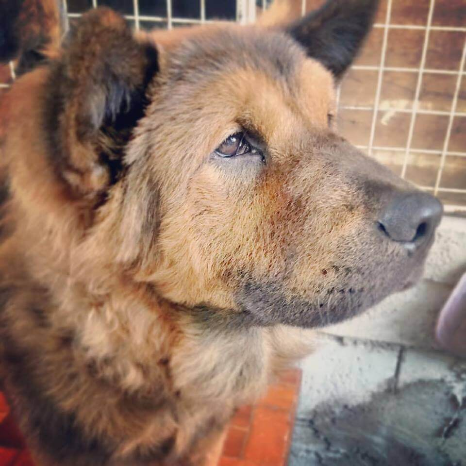 Baste-the-lost-Chow-Dog-in-Mandaluyong