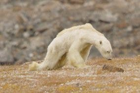 Heart-Wrenching-Video-Shows-Starving-Polar-Bear-On-Iceless-Land-by-National-Geographic