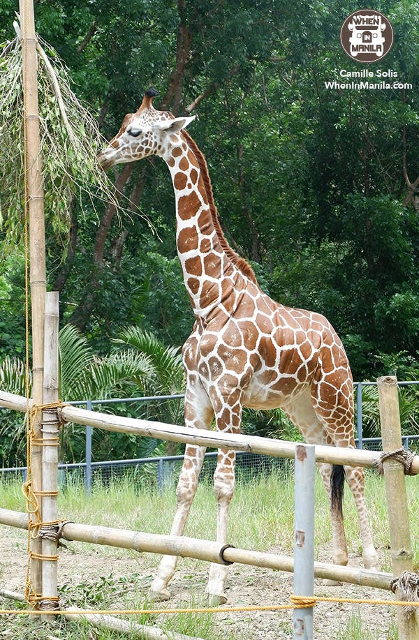 05 Cebu Safari giraffe female