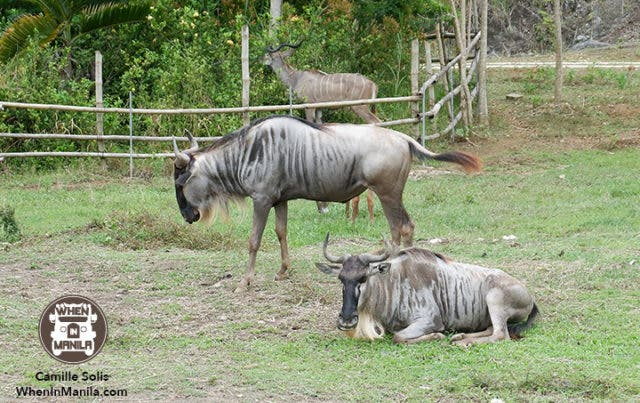 10 Cebu Safari wildebeest