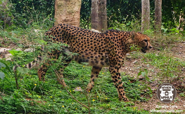 11 Cebu Safari cheetah