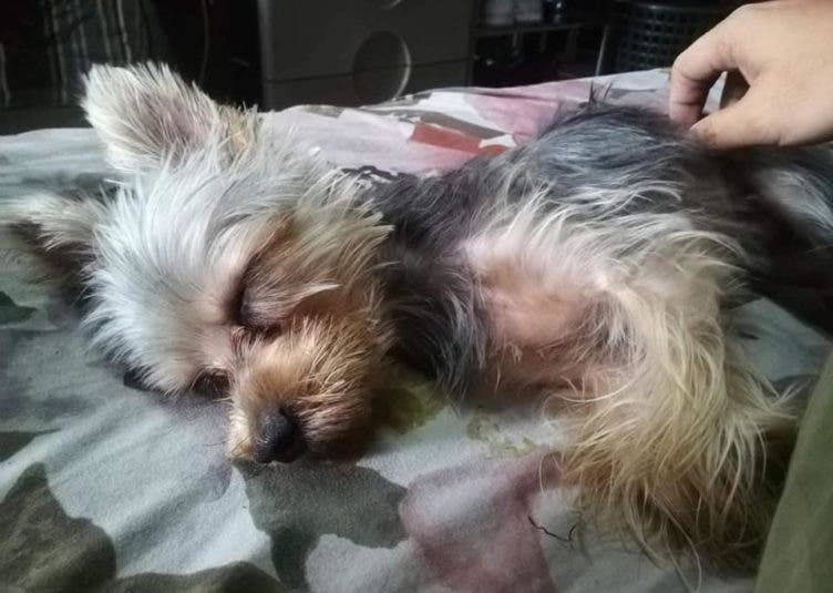MISSING Yorkshire Terrier DOG MARIKINA Leather