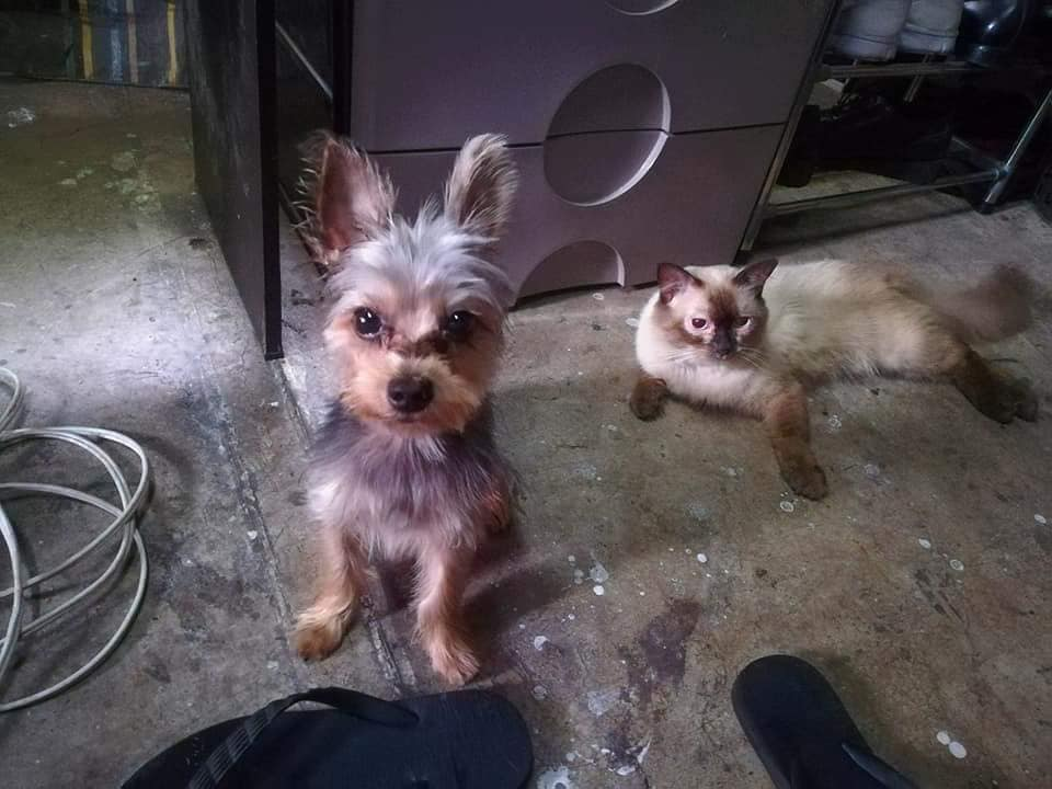 MISSING Yorkshire Terrier DOG MARIKINA Leather with Cat Sibling